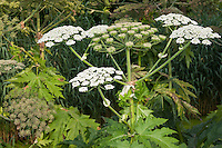 Riesen-Bärenklau, Riesenbärenklau, Bärenklau, Herkulesstaude, Herkules-Staude, Herkuleskraut, Heracleum mantegazzianum, Syn.: Heracleum giganteum, giant hogweed, cartwheel-flower, wild parsnip, wild rhubarb, giant cow parsnip, giant cow parsley