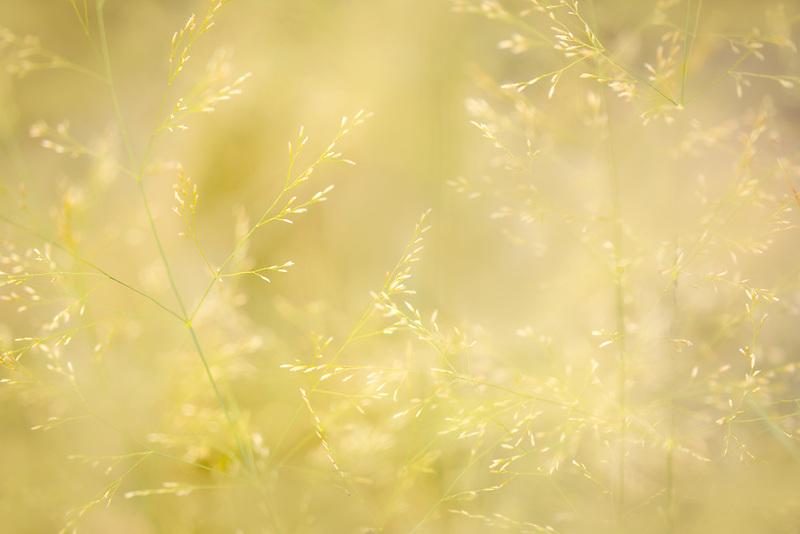 Close up of Northern Lights Hair Grass. Oregon