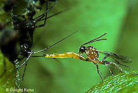 1W16-003z  Parasitic Wasp -  Braconid Wasp -  laying egg in an aphid, Aphidius sp.