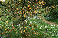 Fremontodendron californicum (Flannel Bush) in California native meadow with Iris