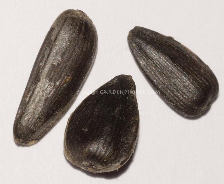 Sunflower seeds oil black, Helianthus annuus