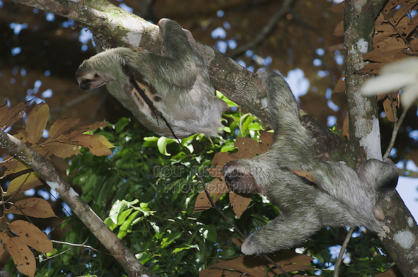 Brown-throated Three-toed Sloth, Bradypus variegatus , males fighting, Manuel Antonio National Park, Central Pacific Coast, Costa Rica, Central America, December 2006