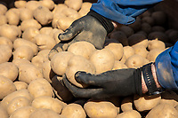 Cold stored potato seed - Lincolnshire, March