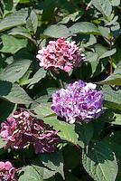Hydrangea serrata 'Preziosa', mophead type blooming shrub bush