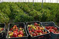ALBANIA, Lushnje, capsicum harvest in green house of Agrocon of Balfin Group / ALBANIEN, Lushnje, Paprika im Gewaechshaus von Agrocon