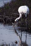Whooping crane feeding in Aransas National Wildlife Refuge, Texas