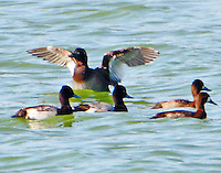 White-winged scoter with lesser scaups