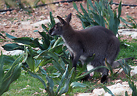 Stock image of silver Bennett wallaby looking over from shrubs in Paphos animal park, Cyprus.<br /> <br /> (For Editorial use only)
