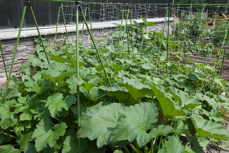 Squash vegetable plants growing in garden using commercial stakes and trellising