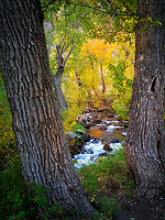 Mcgee Creek with fall colored cottonwood trees. Eastern Sierra Nevada Mountains, California