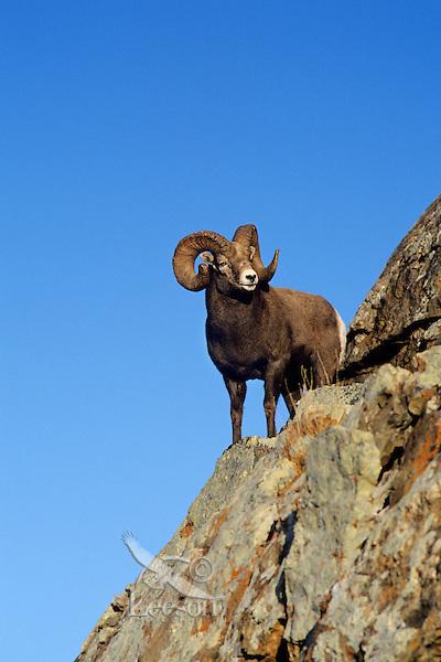 Rocky Mt. Bighorn Sheep Ram (Ovis canadensis), Fall, Northern Rockies.