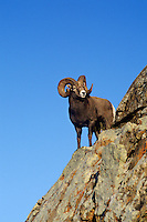Rocky Mt. Bighorn Sheep Ram (Ovis canadensis), Fall, Northern Rockies.