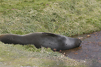 Southern elephant seal, Mirounga leonina, lying in stream at Grytviken. South Georgia islands, Southern Ocean, Antarctica.