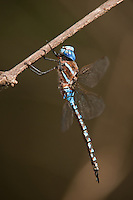 339360004 a wild male blue-eyed darner dragonfly rhionaeschna multicolor  perches on a small limb at hornsby bend austin travis county texas united states