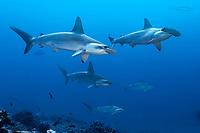 Scalloped hammerhead sharks, Sphyrna lewini, Malpelo, Columbia, Pacific Ocean