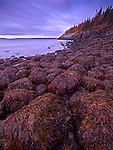 Rockweed clings to the boulders at Hunters Beach during sunrise at Acadia National Park, Maine, USA