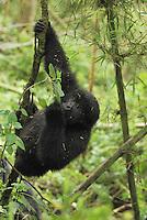 .Mountain Gorilla (Gorilla beringei beringei), young hanging from branch, Volcanoes National Park, Rwanda