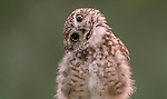 """This tiny burrowing owl tilts his head in curiosity as he spots a photographer taking his picture in the small town of Diessen in the Netherlands.<br /> <br /> The cute moment was caught by photographer Albert Beukhof.<br /> <br /> Mr Beukhof said """"This little owl, spotted me a few times.  Perhaps he could see his own reflection or the surroundings in the reflection of the lens of the camera.""""<br /> <br /> """"I have never seen this happen before so it was very funny to watch.""""<br /> <br /> Please byline: Albert Beukhof/Solent News<br /> <br /> © Albert Beukhof/Solent News & Photo Agency<br /> UK +44 (0) 2380 458800"""