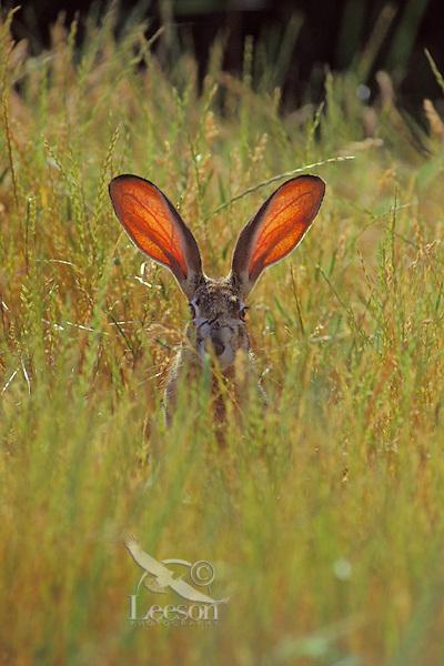 Black-tailed jackrabbit (Lepus californicus)--the blood through the ears help the jackrabbit regulate its body temperature.