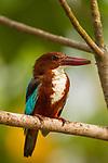 White-throated Kingfisher (Halcyon smyrnensis), Diyasaru Park, Colombo, Sri Lanka