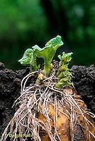 HS05-019c  Potato - fibrous roots