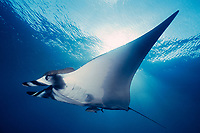 giant oceanic manta ray, Mobula birostris, formerly Manta birostris, San Benedicto, Revillagigedos ( Socorro ) Islands, Mexico ( E. Pacific )