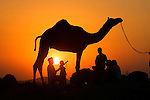 Silhouetted dromedary camel and traders, Pushkar Camel Fair, Rajasthan, India