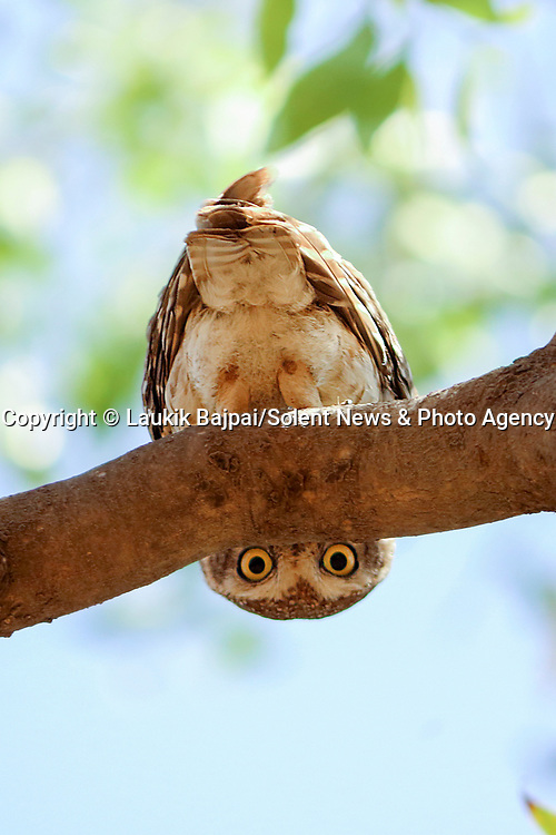 "MAIN IMAGE:  PEEK-T-WOO...... A spotted owlet pears down from under a tree branch and gives a watching photographer a curious glare.<br /> <br /> The unusal image was captured along the banks of the Rancharda lake near Ahmedabad, India by marketing and sales manager Laukik Bajpai, 29.<br /> <br /> Laukik said, ""It was a bit like hide and seek.  The owlet was trying to take cover behind some branches while watching my movements and probably wondered why I was so close to the nest.""<br /> <br /> ""The spotted owlet is a small owl which breeds in tropical Asia from mainland India to Southeast Asia. They are a common resident of open habitats and have adapted to living in cities.  They roost in small groups in the hollows of trees or in cavities in rocks or building and nests in a hole in a tree or building, laying 3–5 eggs.""<br /> <br /> ""It's rare for them to hang upside down and it was a very unique moment - I had waited for two hours in the same spot to make sure I wouldn't frighten him.""<br /> <br /> Please byline: Laukik Bajpai/Solent News<br /> <br /> © Laukik Bajpai/Solent News & Photo Agency<br /> UK +44 (0) 2380 458800"