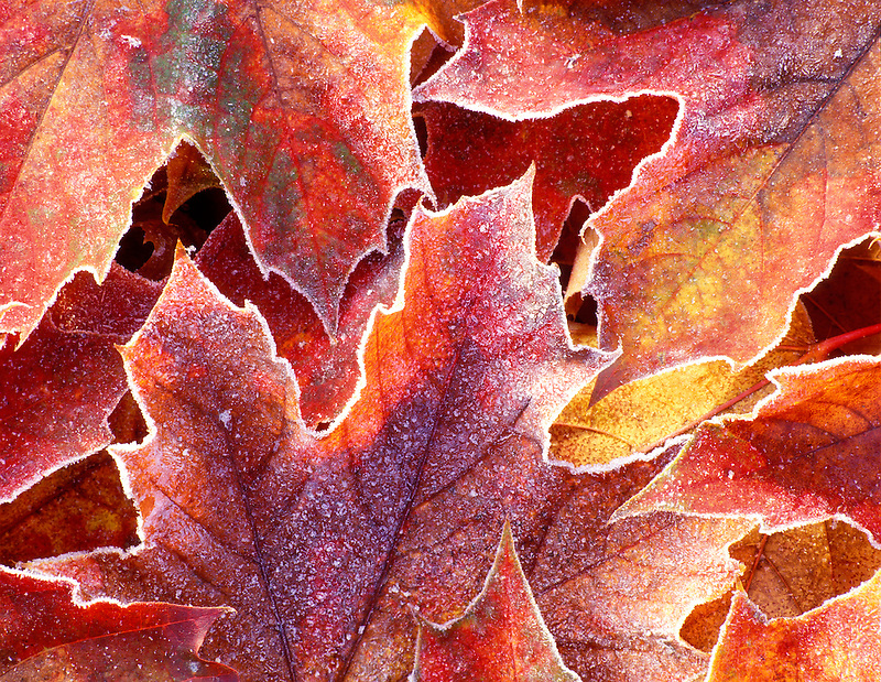 V00420M.tiff   Fall colored Big Leaf Maple leaves with frost. Near Alpine, Oregon