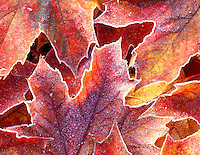 V00420M.tiff   Fall colored Big Leaf Maple leaves with frost. Near Alpine, Oregon