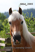 Bob, ANIMALS, REALISTISCHE TIERE, ANIMALES REALISTICOS, horses, photos+++++,GBLA3985,#a#, EVERYDAY