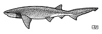 Broadnose sevengill shark, Notorynchus cepedianus, lateral view, pen and ink illustration.