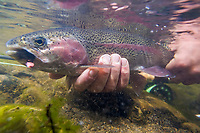 Rainbow trout caught on a fly in Red Creek, south of the Alaska rage.