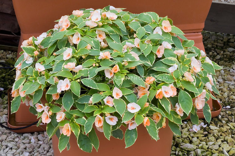 Impatiens 'Fusion Peach Frost' new variegated shade plant