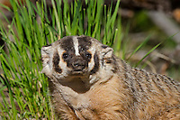 American badger (Taxidea taxus).  Western U.S., June.