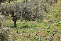 Afrique/Afrique du Nord/Maroc/Env d' Essaouira/Ounagha: Domaine: Le Val d'Argan - Vignes et oliviers en agriculture biologique