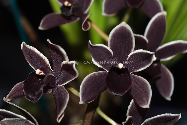 Cymbidium Black Ruby (canaliculatum x Ruby Eyes), exhibited by Lois Duffin, Greater Philadelphia Orchid Society, orchid hybrid from 2003. Note: Ruby Eyes = floribundum x Sensation. Unusual unnamed cultivar with very dark black petals and lip and white picotee edge. Often called Black Orchid.