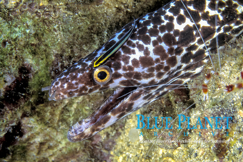 spotted moray eel, Gymnothorax moringa, being cleaned by a cleaning goby, Gobiosoma genie, St. Lucia, Caribbean Sea, Atlantic Ocean