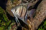 Leopold angelfish facing left.