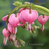 Gisela, FLOWERS, BLUMEN, FLORES, photos+++++,DTGK1936,#f#