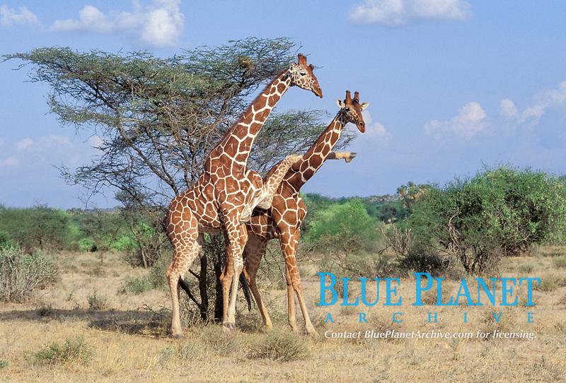 Fighting Reticulated Giraffes Giraffa camelopardalis Samburu National Reserve Kenya