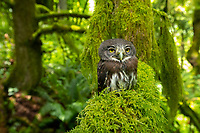 Northern Pygmy-Owl (Glaucidium gnoma). Multnomah County, Oregon.