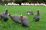 Free range guineafowl Fosse Meadow Farm Leicestershire UK