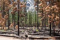 Kontrolliert abgebrannte Baeume im Kings Canyon im kalifornischen Sequoia National Park.<br /> 8.6.2017, Sequoia National Park<br /> Copyright: Christian-Ditsch.de<br /> [Inhaltsveraendernde Manipulation des Fotos nur nach ausdruecklicher Genehmigung des Fotografen. Vereinbarungen ueber Abtretung von Persoenlichkeitsrechten/Model Release der abgebildeten Person/Personen liegen nicht vor. NO MODEL RELEASE! Nur fuer Redaktionelle Zwecke. Don't publish without copyright Christian-Ditsch.de, Veroeffentlichung nur mit Fotografennennung, sowie gegen Honorar, MwSt. und Beleg. Konto: I N G - D i B a, IBAN DE58500105175400192269, BIC INGDDEFFXXX, Kontakt: post@christian-ditsch.de<br /> Bei der Bearbeitung der Dateiinformationen darf die Urheberkennzeichnung in den EXIF- und  IPTC-Daten nicht entfernt werden, diese sind in digitalen Medien nach §95c UrhG rechtlich geschuetzt. Der Urhebervermerk wird gemaess §13 UrhG verlangt.]