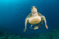 scuba diver with two green turtles, Chelonia mydas, South Tenerife, Canary Island, Spain, Atlantic Ocean