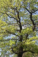 Stiel-Eiche, Stieleiche, Eiche, Quercus robur, hellgrünes Laub im Frühjahr, English Oak, Chêne commun