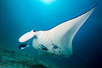 reef manta ray, Manta alfredi at Manta Ridge dive site, Raja Ampat, West Papua, Indonesia, Indo-Pacific Ocean