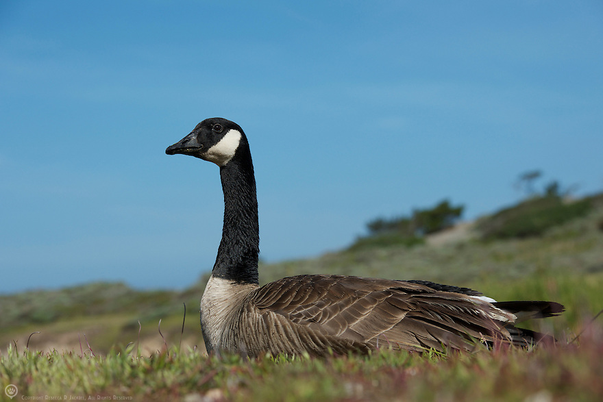 North America, USA, California, Point Lobos. Canada Goose.