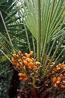 Spanien, Mallorca, Palme in den Gärten Jardins d'Alfabia bei Bunyola