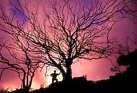 Koa tree at sunset on the waipoo falls canyon trail , Kauai